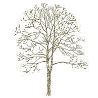 Dwg Cad Objekte: Baum Ansicht (11)
