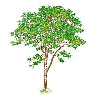Dwg Cad Objekte: Baum Ansicht (13)