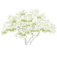 Dwg Cad Objekte: Baum Ansicht (3)